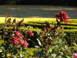 旧古河庭園バラ