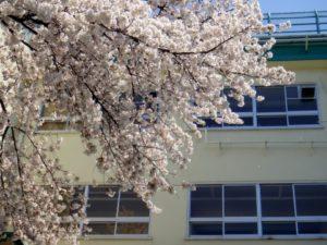 サンプル画像(校舎と桜)